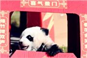 熊猫宝宝集体亮相贺新春.jpg