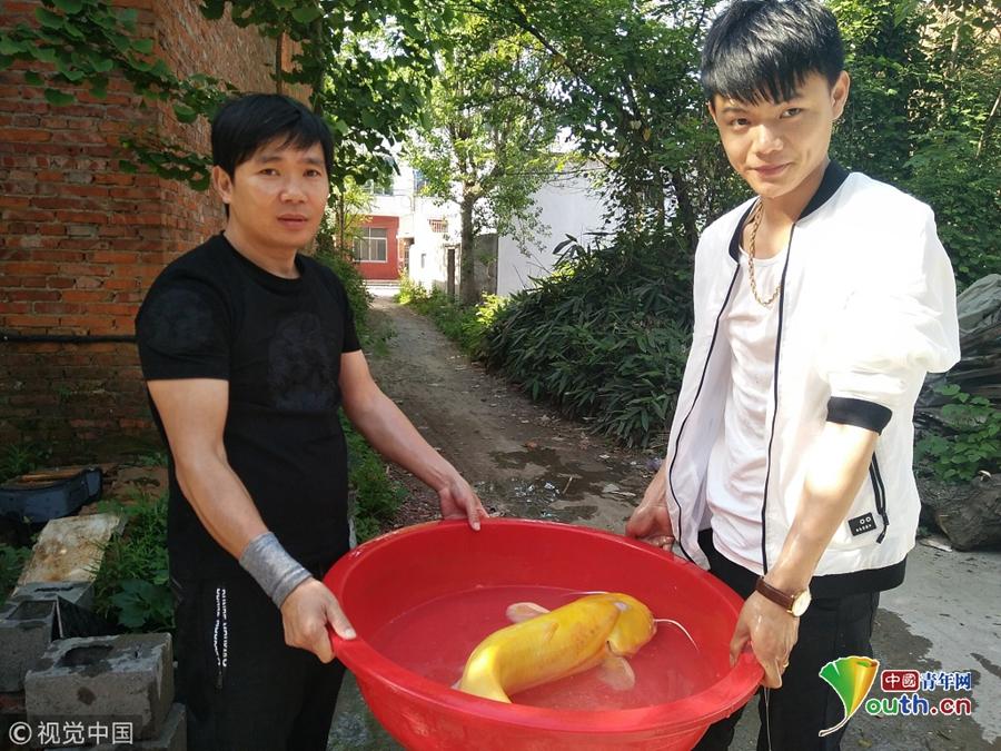 江西瑞昌市民钓到罕见金黄色大口鲇鱼 通体剔透