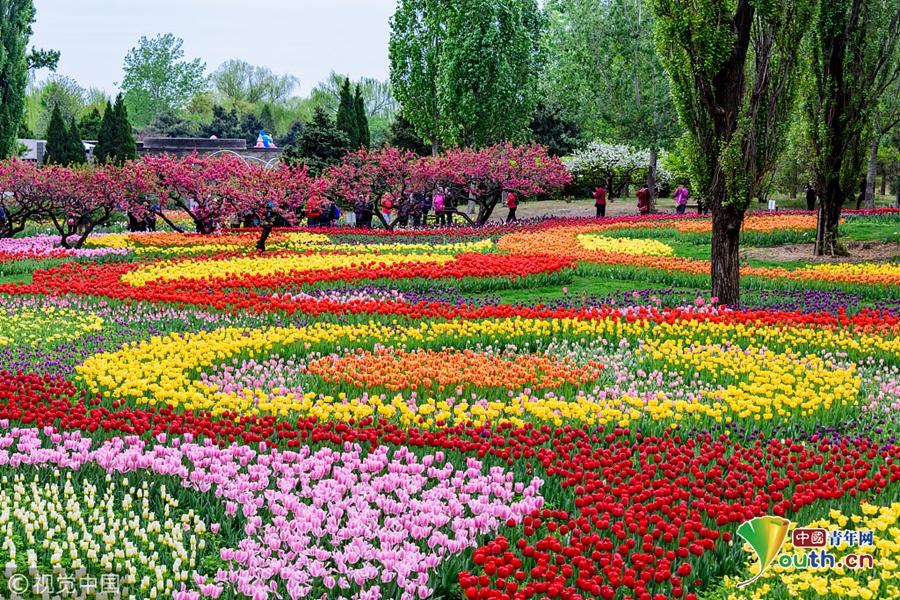 北京植物园内的郁金香展区   中国青年网北京4月24日电 23日,坐落于北京香山脚下的北京植物园内的郁金香展区,经过昨天大雨的洗礼,天更蓝,树更绿,草更青,花更艳。郁金香花开满园,娇艳美丽,迎来众多市民和摄影爱好者参观拍照。