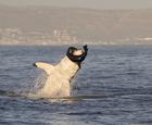 小海豹反咬大白鲨.jpg