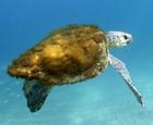 澳海龟背部长海藻.jpg