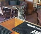 酒吧喂养野生袋鼠.jpg