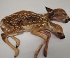 双头小鹿的尸体.png