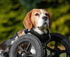 残疾狗狗装上轮子.png