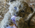狮子宝宝抱奶瓶.jpg