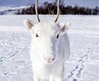 挪威罕见白色驯鹿.jpg