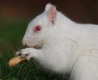 罕见白化松鼠觅食.jpg