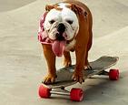 斗牛犬滑板玩得溜.jpg