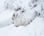 山兔雪中滚成雪球.jpg