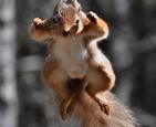 小松鼠跳跃觅食.jpg