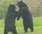 两只黑熊大打出手.jpg