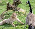 猕猴跪地求饶母雁.jpg