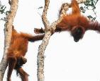兩只猩猩樹上決斗.jpg