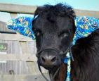 戴耳套的小公牛.jpg