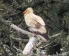 罕见秃鹫亮相英国.jpg