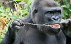 大猩猩用树枝剔牙