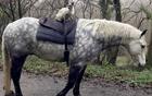 英国暹罗猫爱骑马