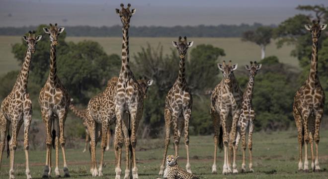 长颈鹿竟围观猎豹.jpg