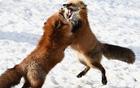 日本狐狸雪中嬉闹