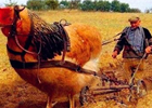 农民把公鸡当牛用