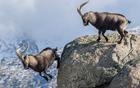 山羊搏斗被迫跳崖