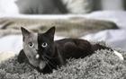 """神奇的""""双脸猫"""""""