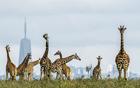 长颈鹿被建筑包围