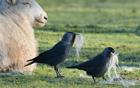 寒鸦偷啄羊毛
