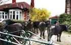 奶牛从农场逃脱