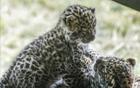 远东豹双胞胎幼崽
