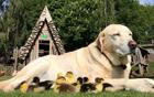 小狗照顾9只鸭子