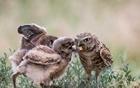 猫头鹰宝宝争食