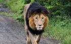 雄狮罕见双色鬃毛.jpg