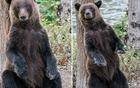 """棕熊跳起""""电臀舞"""""""