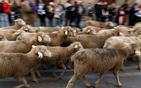 羊群穿越城市中心.jpg