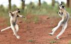 狐猴边走边跳舞.jpg