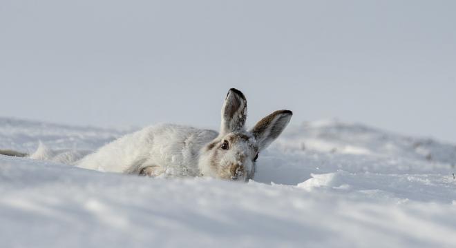 野兔在雪地里打滑.jpg