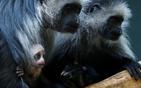 叶猴幼崽紧抱妈妈.jpg