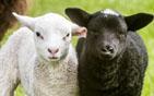 母羊产不同色羊仔.jpg