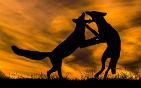 两只狐狸嬉戏打架.jpg