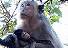 母猴含泪紧抱夭折小猴
