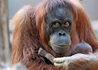 猩猩妈妈紧抱新生宝宝