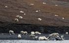 北极熊们享用鲸鱼.jpg