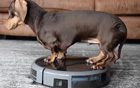 腊肠犬酷爱扫地.jpg