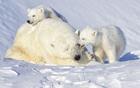 小北极熊吻醒妈妈.jpg