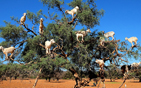 """树""""结满""""12只山羊.jpg"""