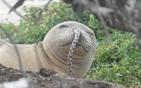 海豹鼻子被堵鳗鱼.jpg