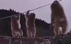 猕猴电话线上行走.jpg