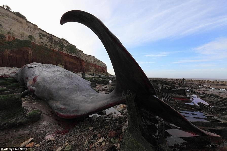 巨鲸海边搁浅死亡 长逾13米重30吨