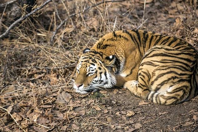 俄动物园拆散老虎与山羊好朋友